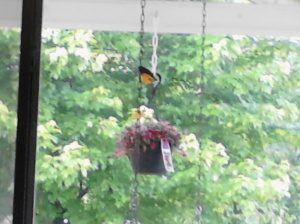 oriole on porch