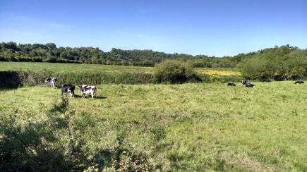 Irish Cows are Mooing.jpg